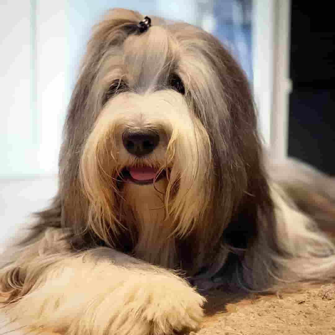 13 Fluffy Dog Breeds That Are
